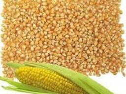 Ячмень, Кукуруза - photo 1